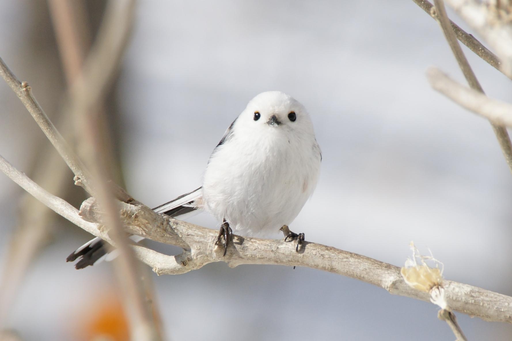 白枝にとまるシマエナガ